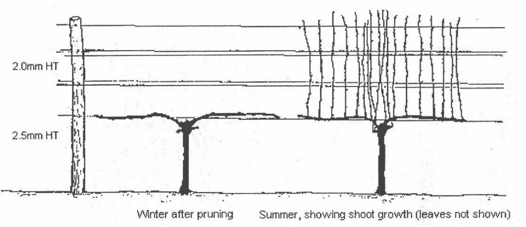 how to prune vines