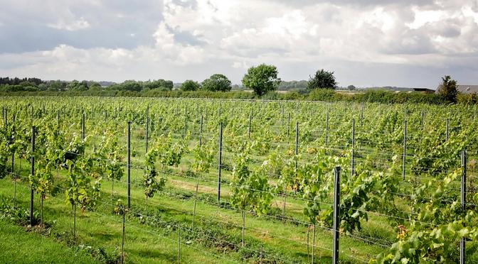 growing grapes for wine making workshop Nottinghamshire vineyard
