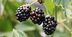 3 ripe blackberries ready to be picked