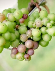 growing grapes for wine making workshop Nottinghamshire vineyard